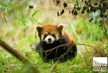 Temperate Forest / Temperate Forest is home to red pandas, pudus and flamingos at Woodland Park Zoo! / by Woodland Park Zoo