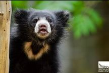 NEW! Twin Sloth Bears / Woodland Park Zoo's new twin sloth bears are exploring their exhibit in the Bamboo Forest Reserve. / by Woodland Park Zoo