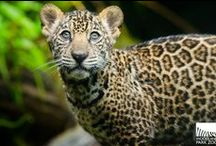 NEW! Jaguar Cubs / Our new jaguar triplets born at Woodland Park Zoo are growing strong behind the scenes, but will be joining us on exhibit this summer. / by Woodland Park Zoo