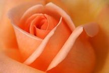A Rose is a Rose / Collection of Rose types / by Lawncare Plus Design~Landscaping Hardscaping Patios Gardening