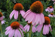 Indiana Natives / Plants, wildflowers, and trees native to Indiana. When landscaping - first priority should be given to native species. They are more likely to thrive with less effort, and they offer food and shelter for native wildlife. / by Chris Koester