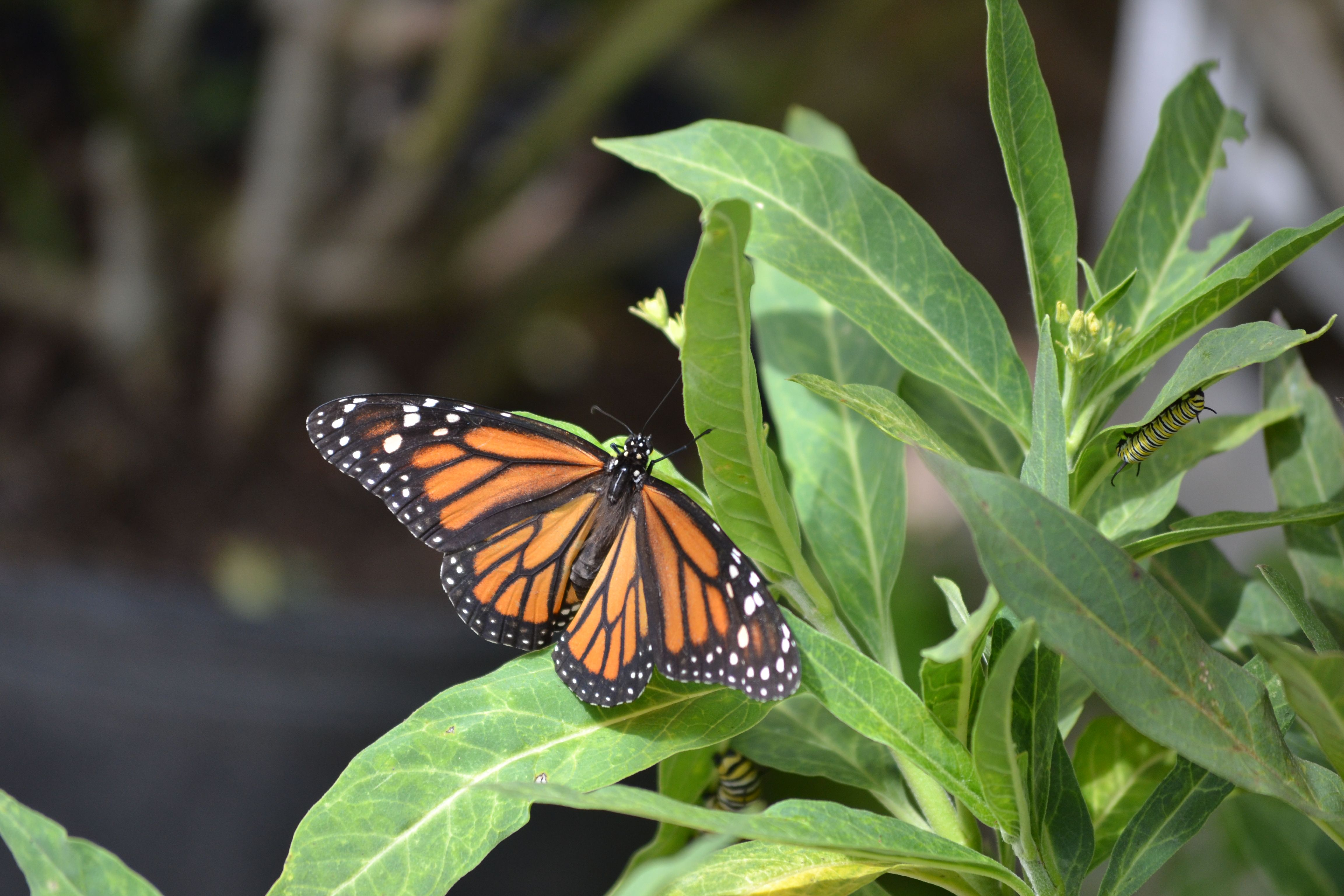 Monarch butterfly and caterpillar | Monarch stages in my ...