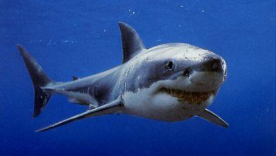 ホホジロザメの画像 p1_2