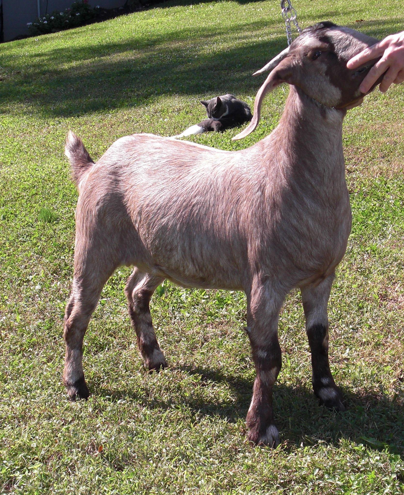 R Goats Boer Goat Doe