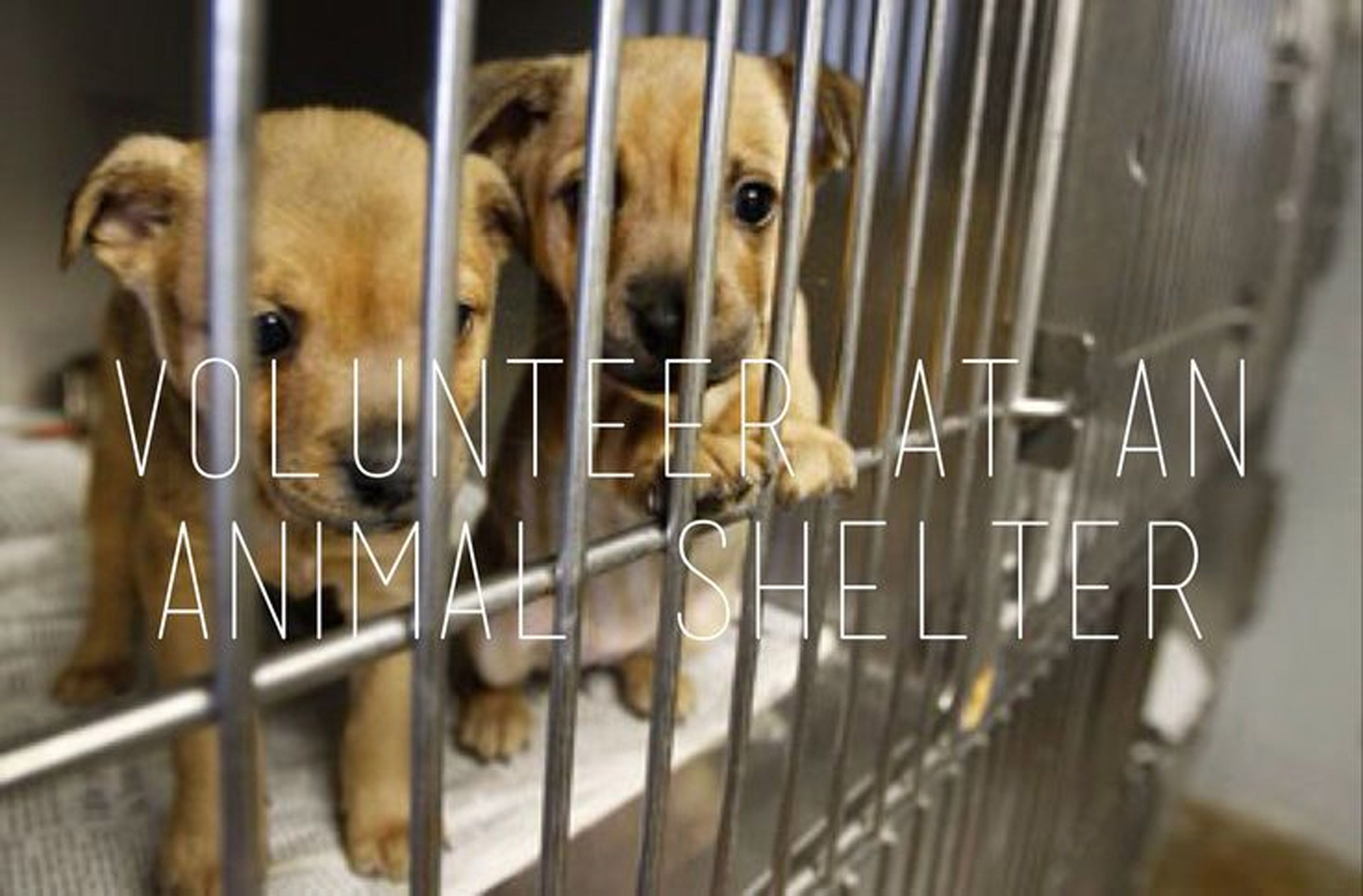 how to become a volunteer at an animal shelter