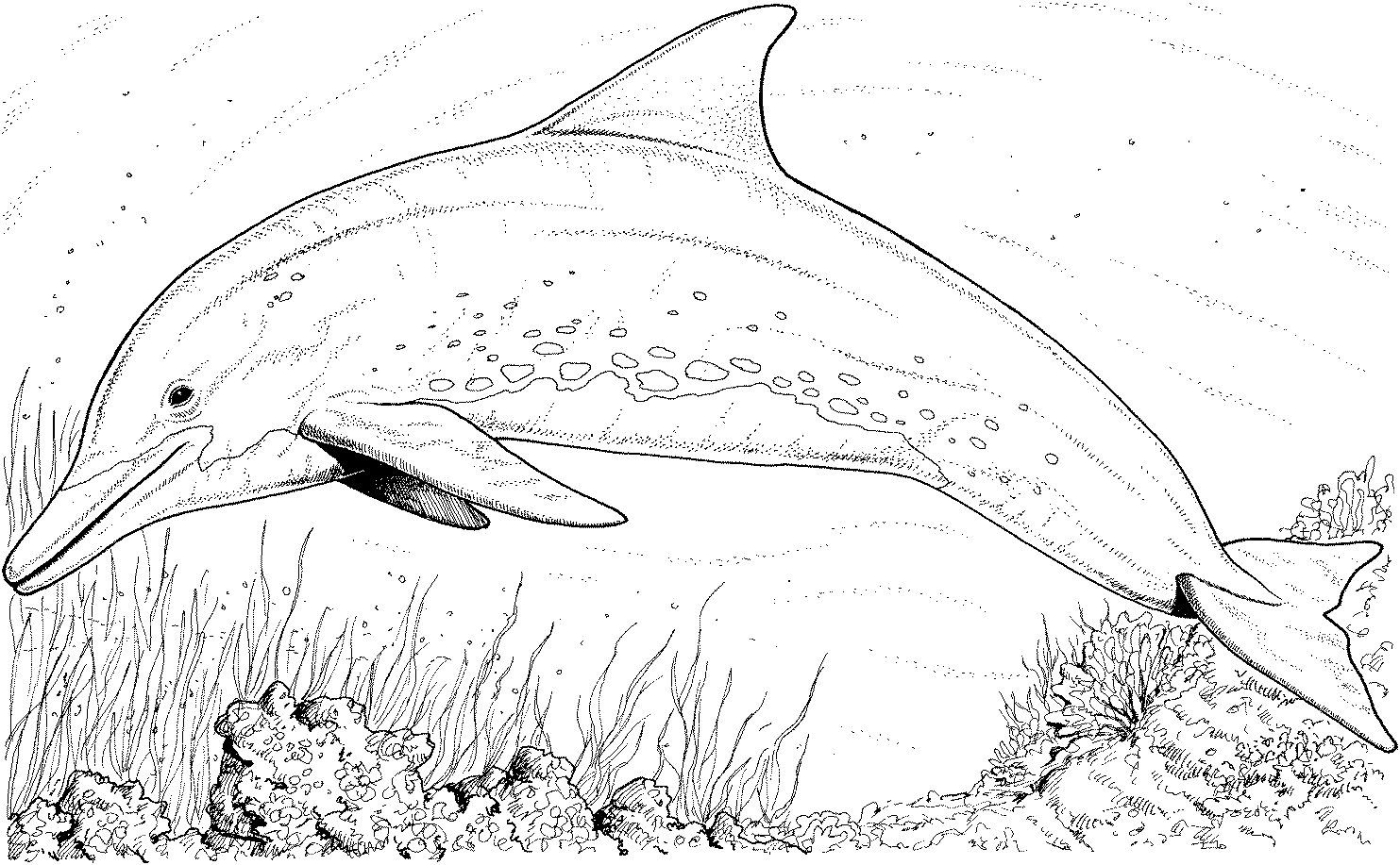 Bottlenose Dolphin Coloring Pages Free Dolphin Coloring