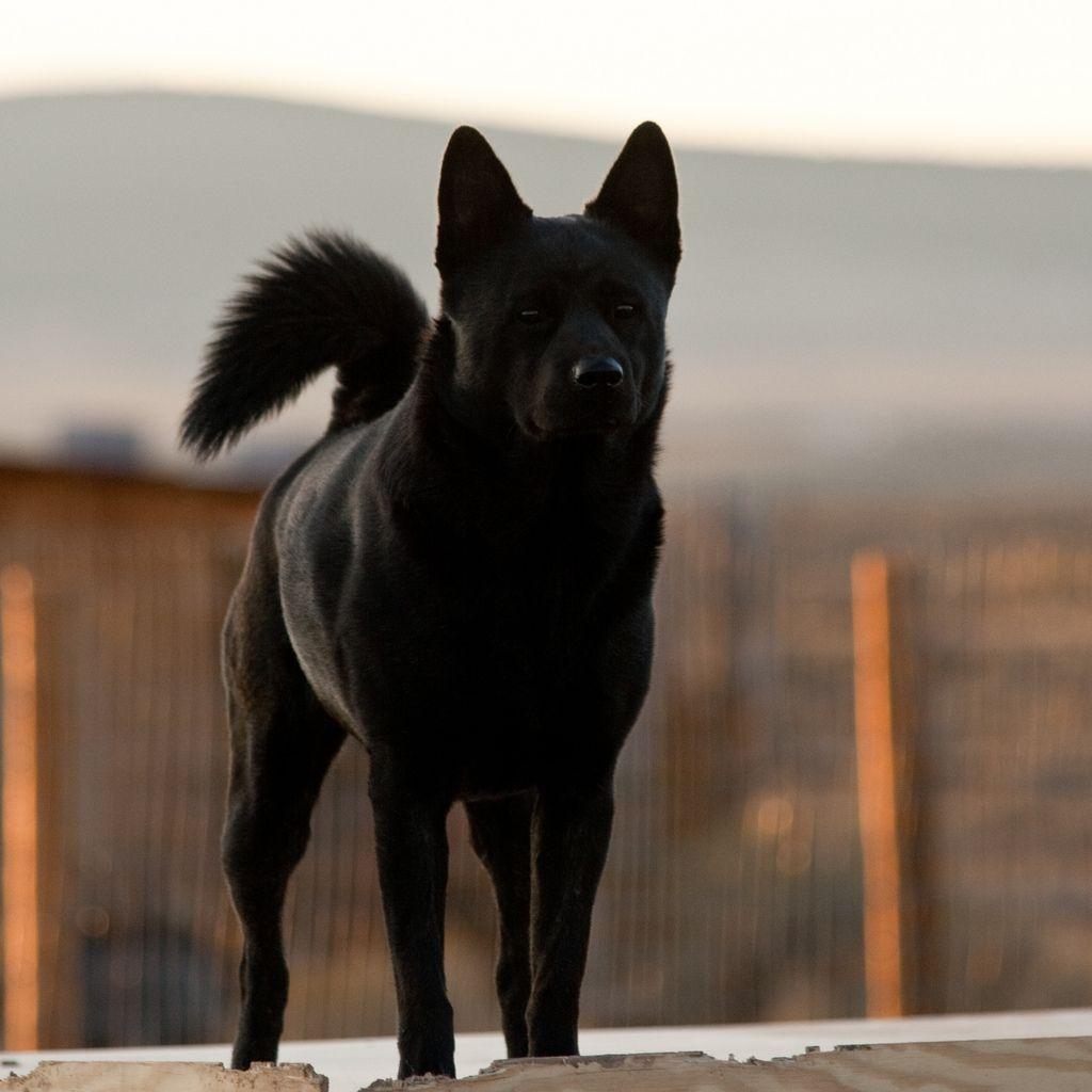 Kai Ken Dog Medium Japanese Breed Dogs Pinterest