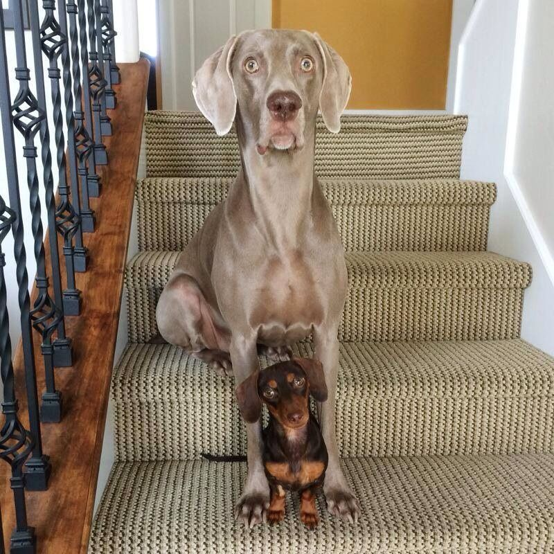 301 Moved Permanently Weimaraner For Sale