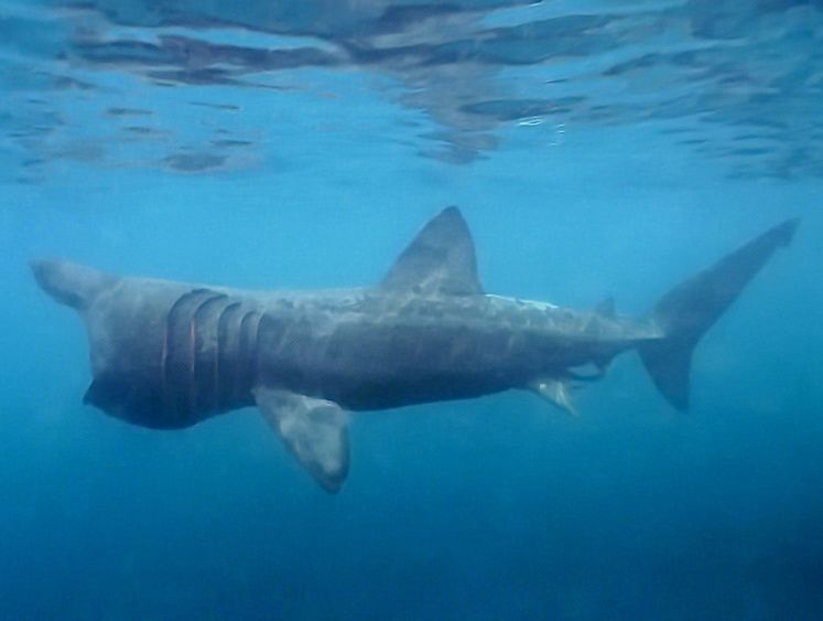 a study on the basking sharks the second largest living fish Basking shark the basking shark (cetorhinus maximus) is the second largest living fish, after the whale shark it is a cosmopolitan migratory species, found in all.