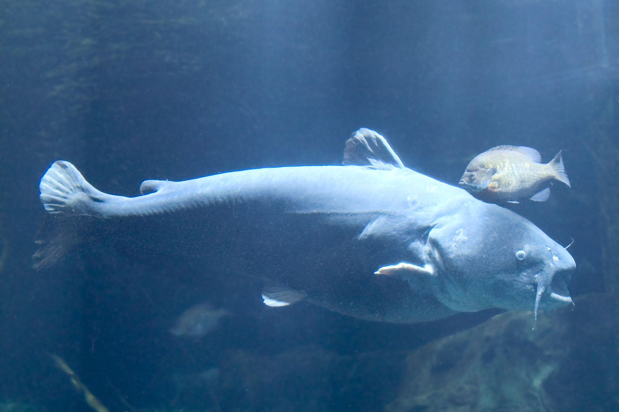 Blue Catfish The Blues Pinterest