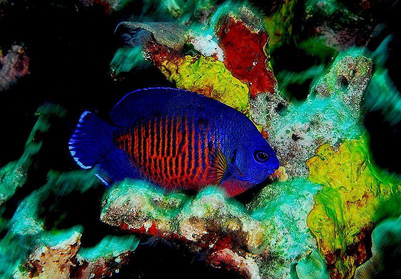 coral beauty angel fish marine aquarium fishes pinterest