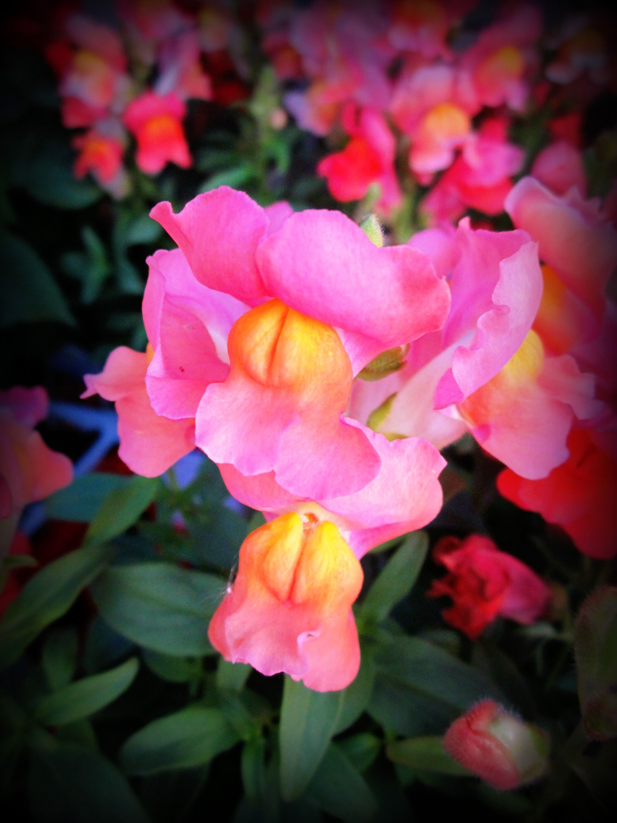 Snapdragons Flower Favorites and plants