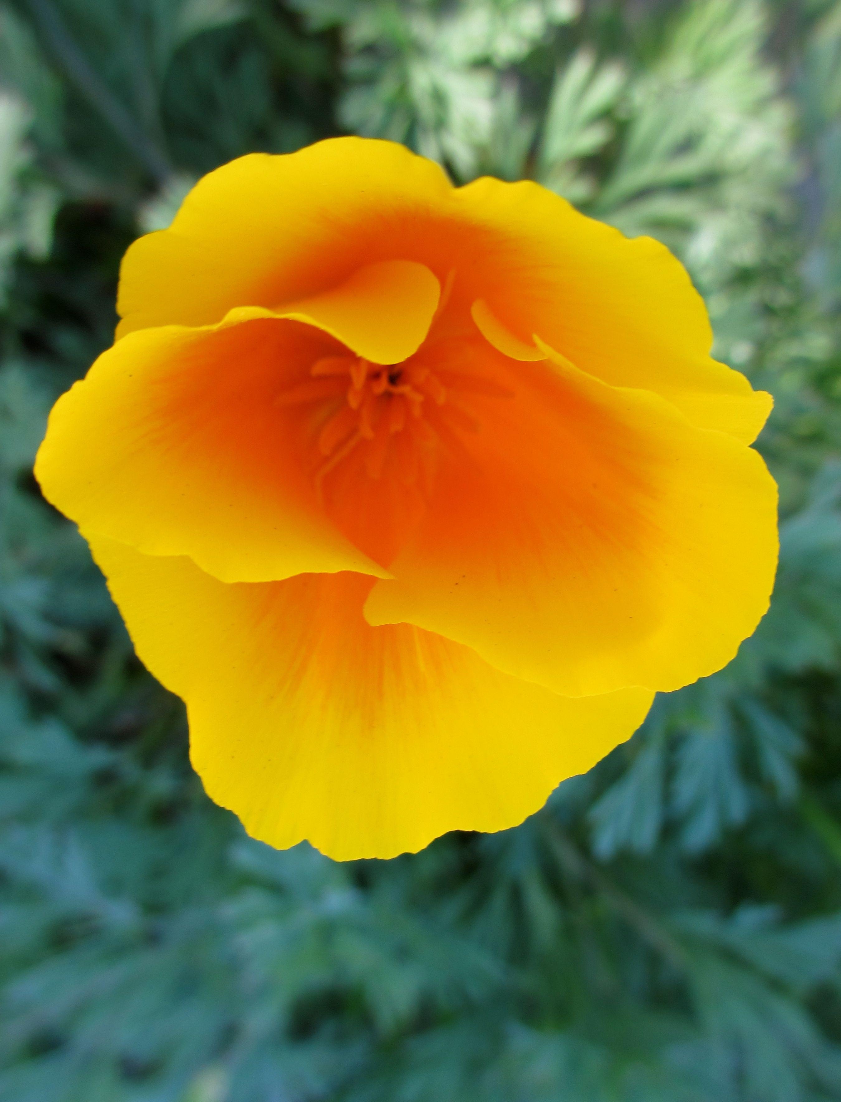 California poppy pretty poppy