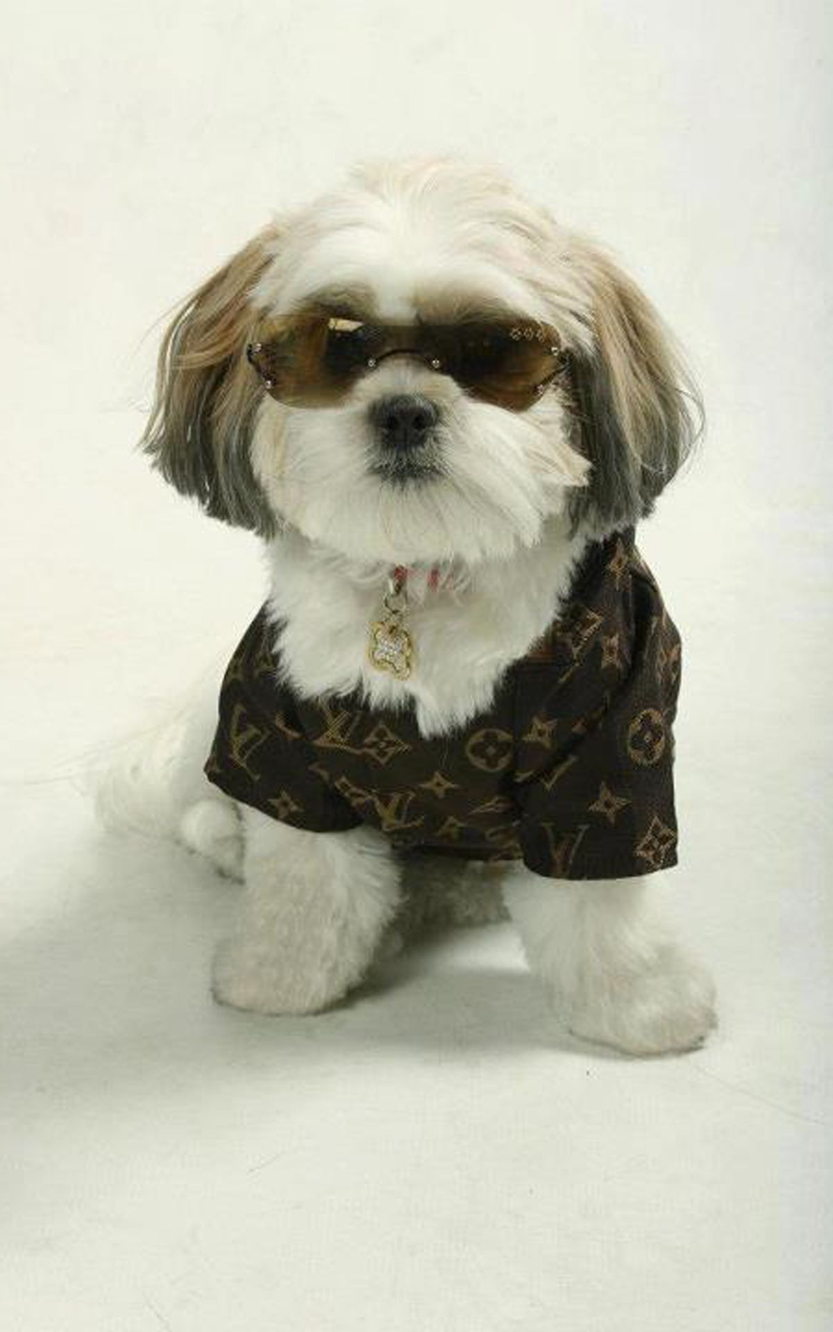 Brilliant Cute Shih Poo Haircuts Images Amp Pictures  Becuo