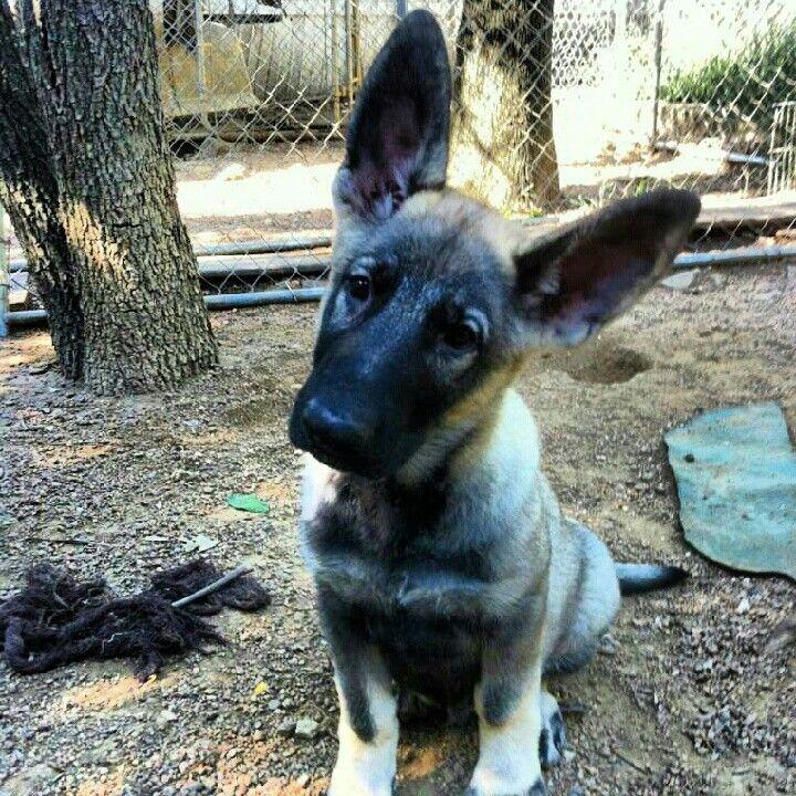 Black and silver german shepherd pup | Cute Animals | Pinterest