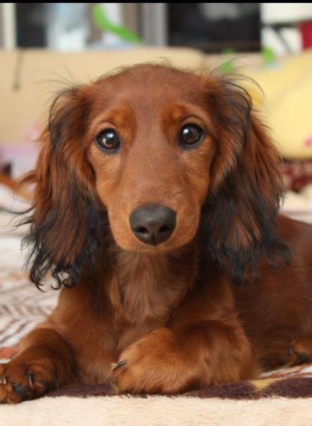 Beautiful long haired dachshund | haluan - wanted | Pinterest
