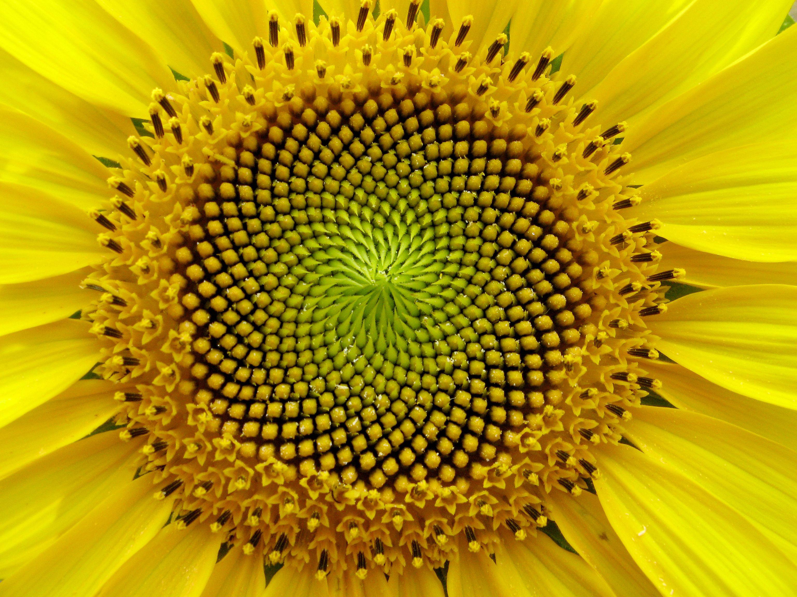 fibonaccisunflower natural patterns pinterest