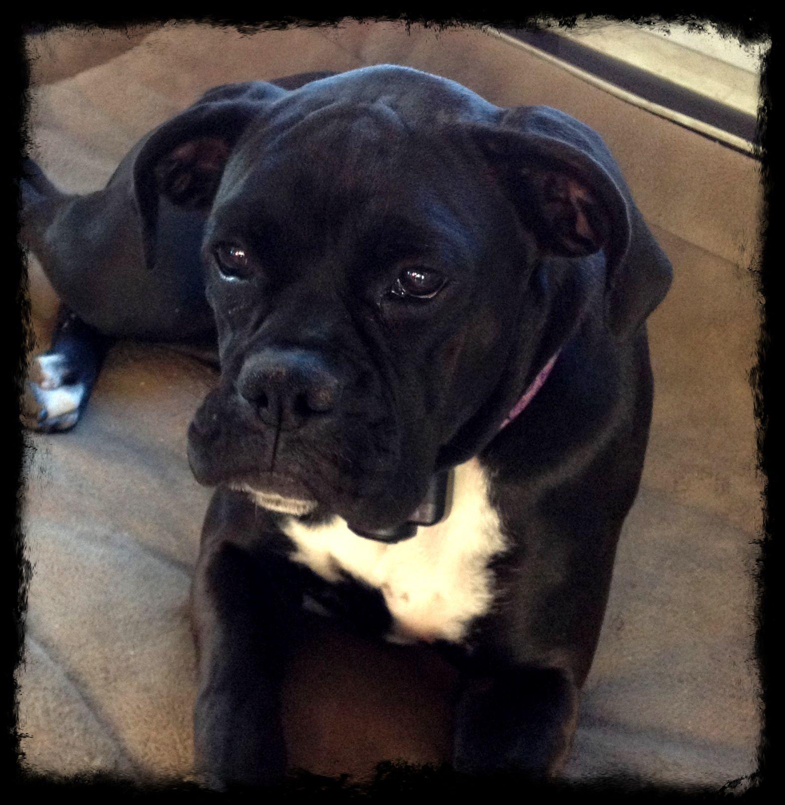 brindle boxer black boxer dogs sealed brindle boxer sealed brindle ...