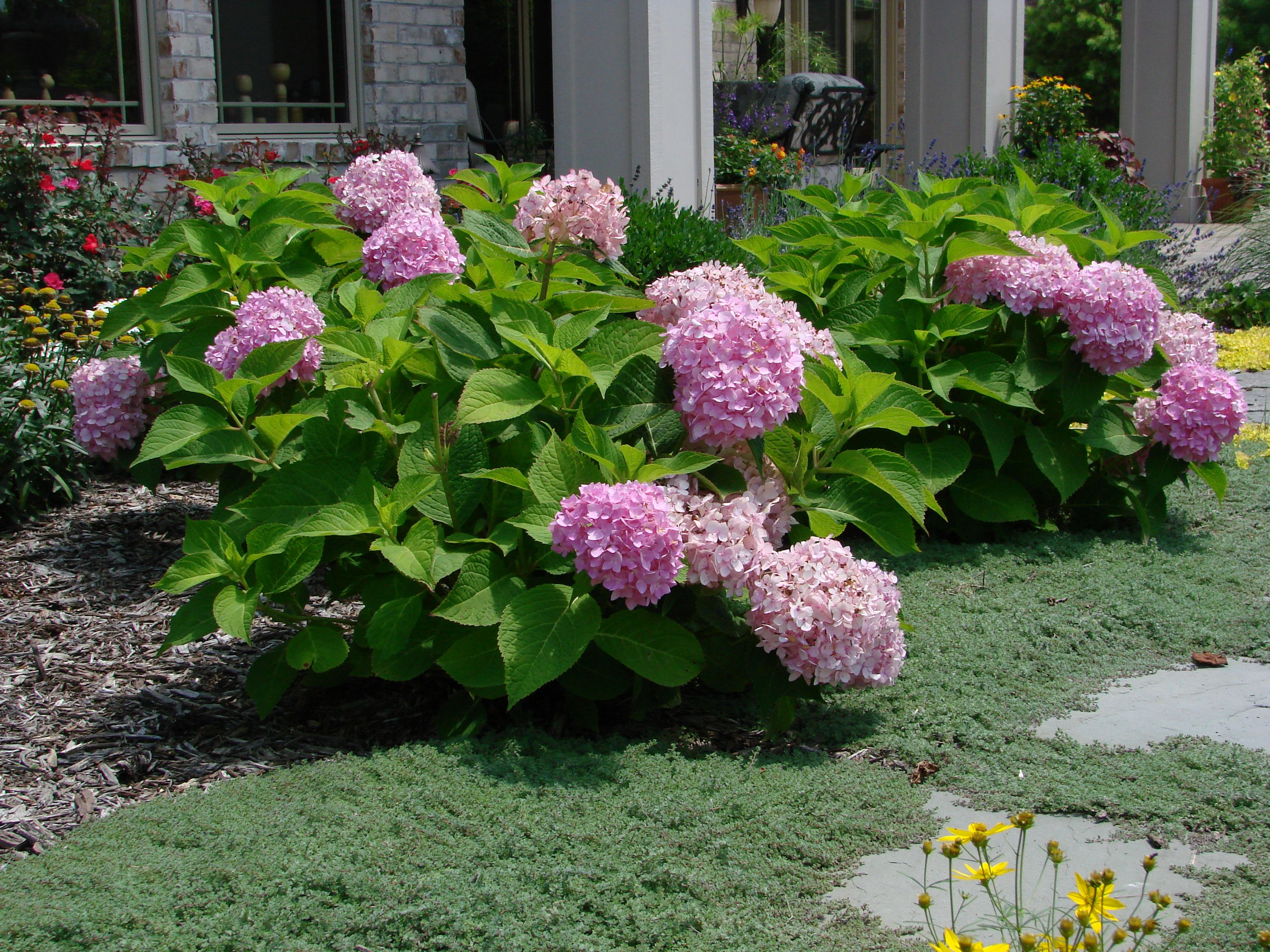 hydrangea endless summer when to prune hydrangeas. Black Bedroom Furniture Sets. Home Design Ideas