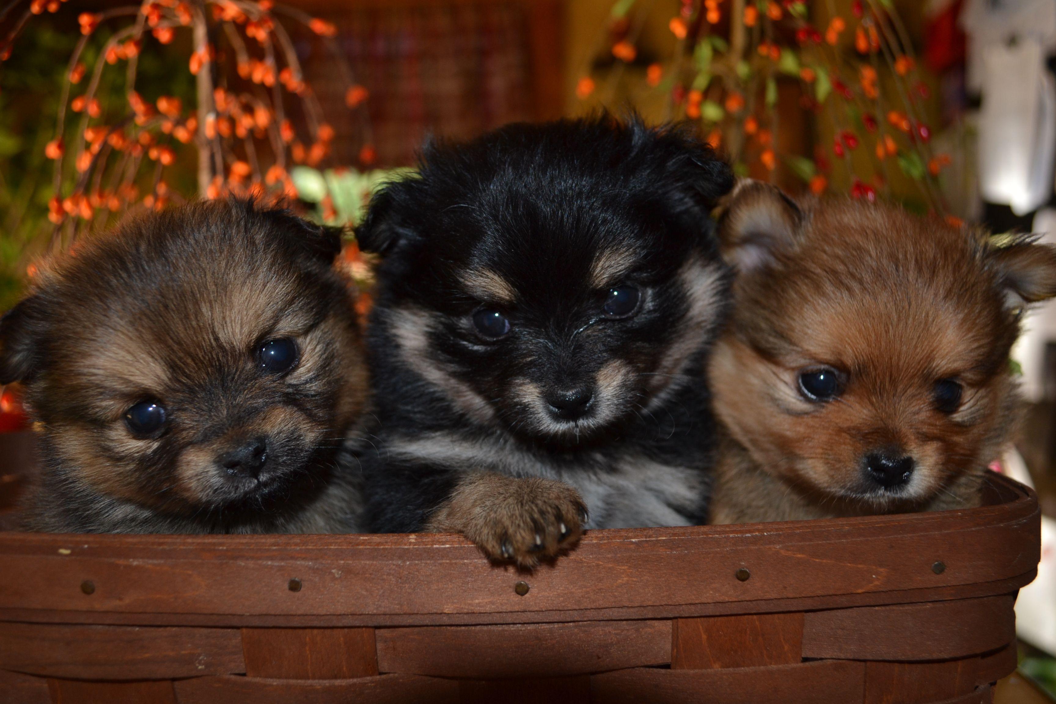 Shih tzu pomeranian mix puppies | hurts your heart (in a ...
