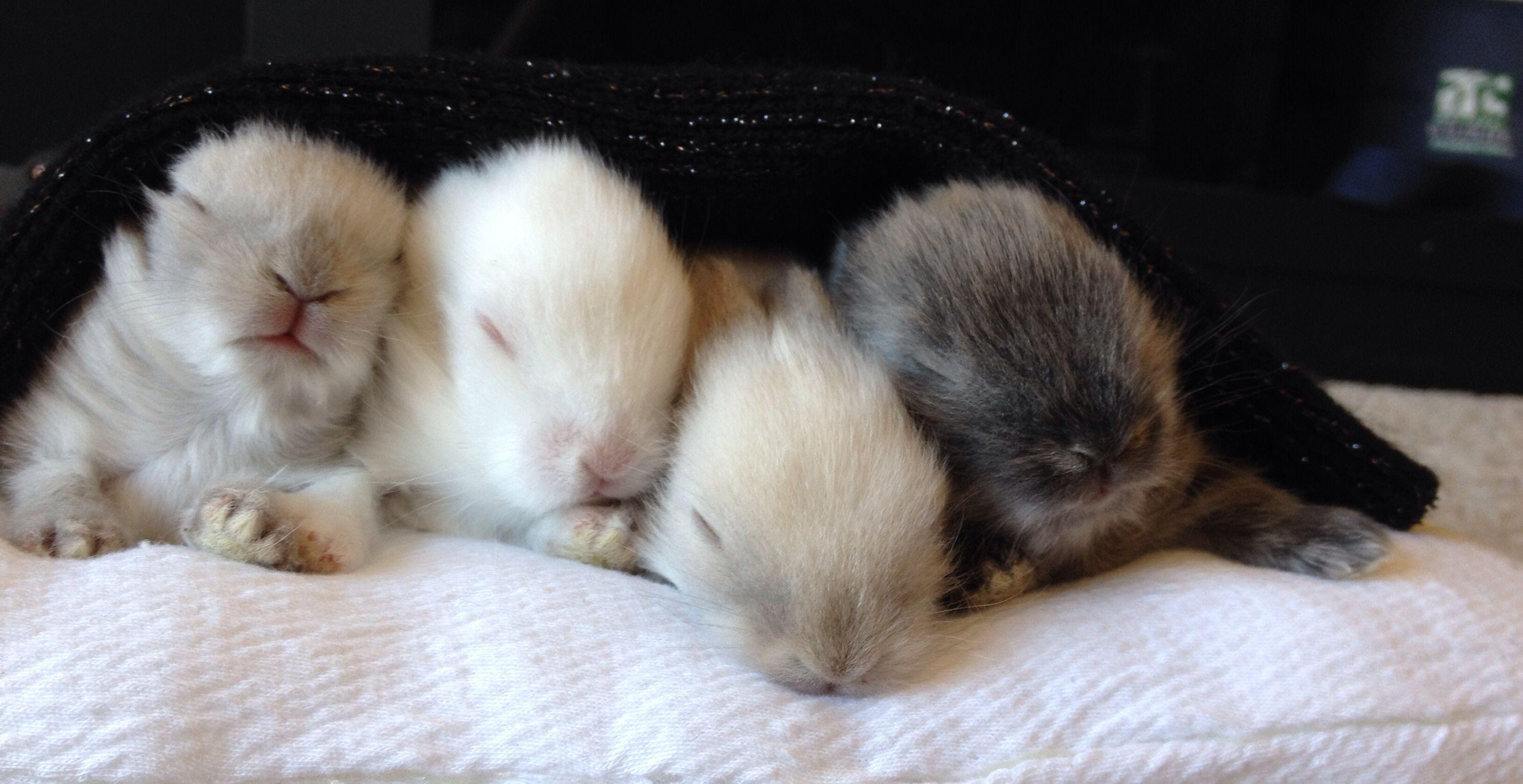 Baby lionhead bunny rabbit sleeping | Bunnies | Pinterest