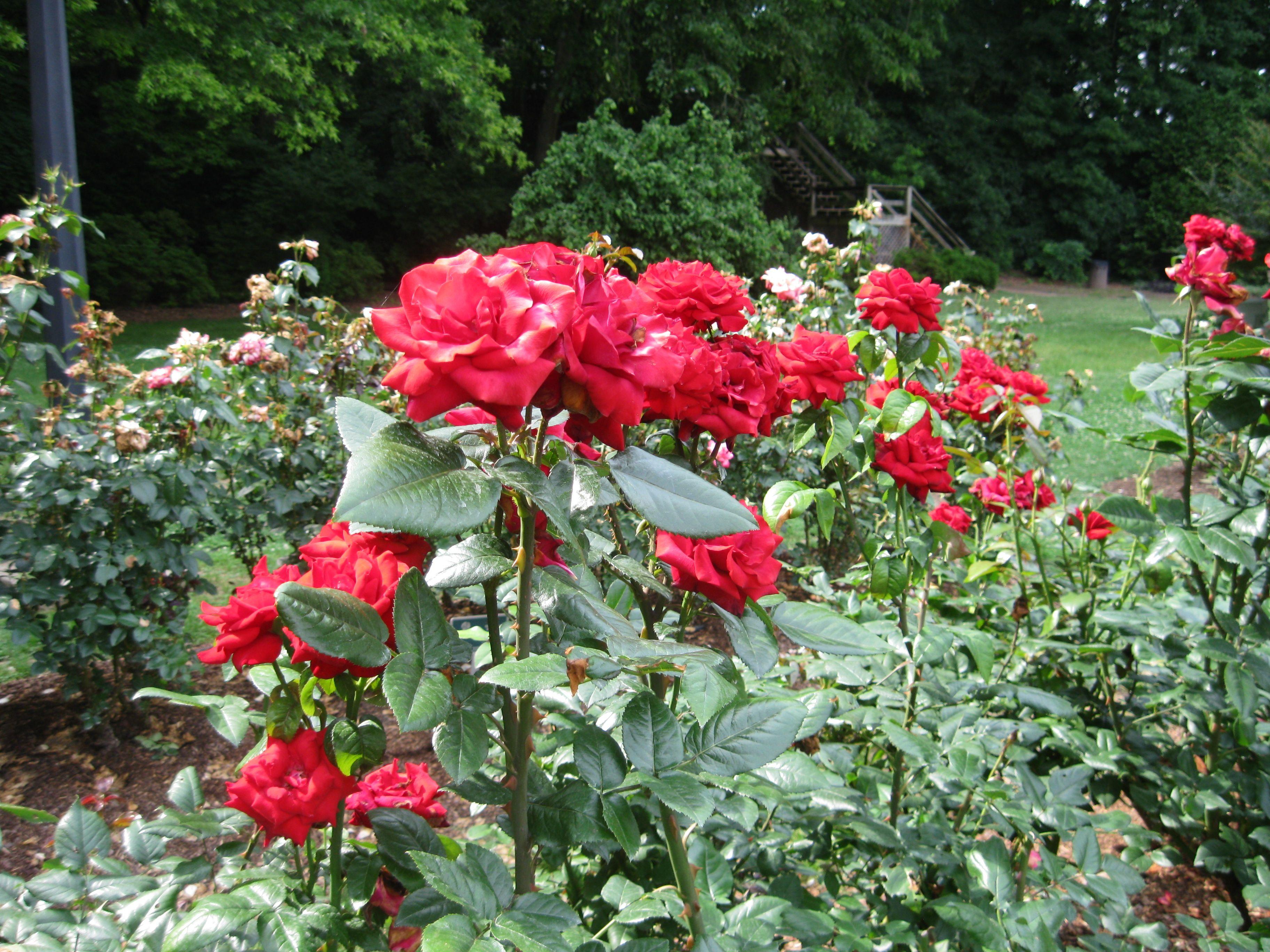 City Of Raleigh Rose Garden Beautiful Gardens Pinterest