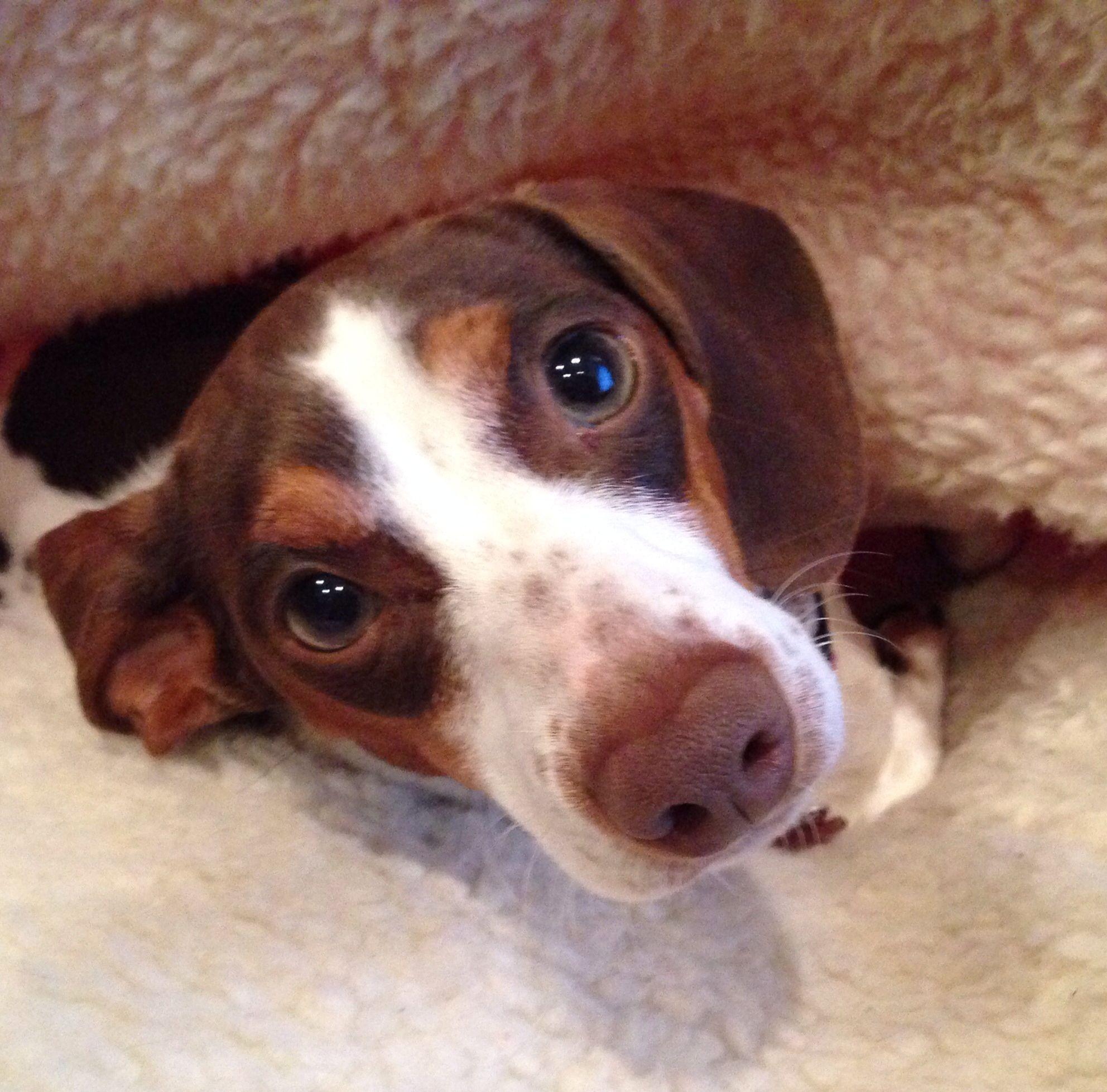 Piebald dachshund such expressive eyes | Doxie ️ | Pinterest