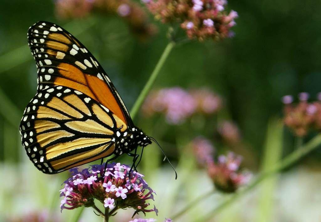 Monarch butterfly on top of flowers butterflies pinterest