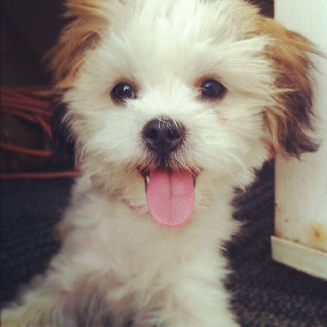 maltese + shih tzu puppy maebe | Puppies | Pinterest