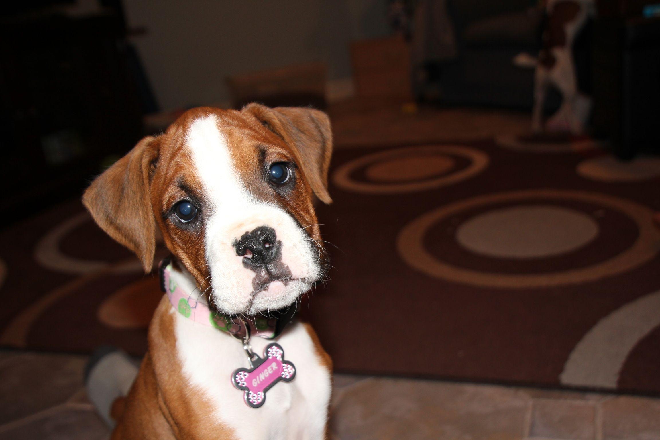 My baby boxer puppy animals pinterest