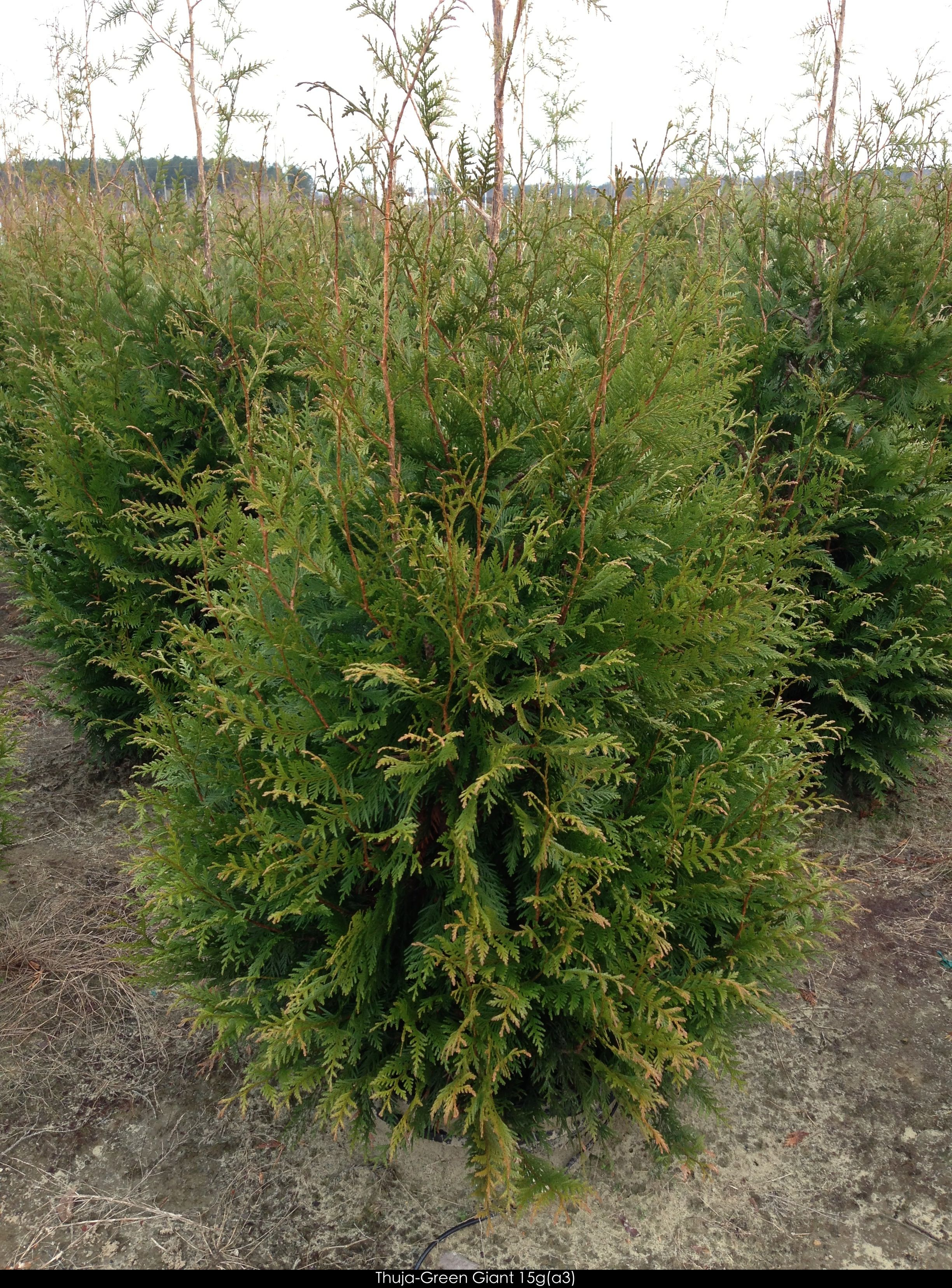 Thuja 39 green giant 39 arborvitae for the perennial garden Green giant arborvitae