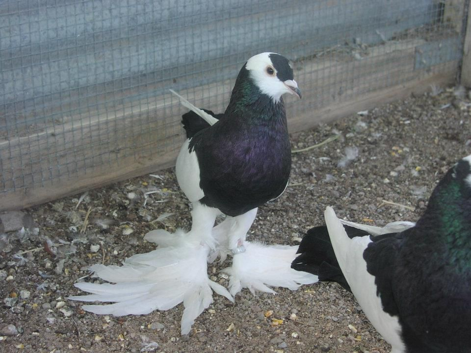 Pin Reversewing-pouter-pigeon on Pinterest