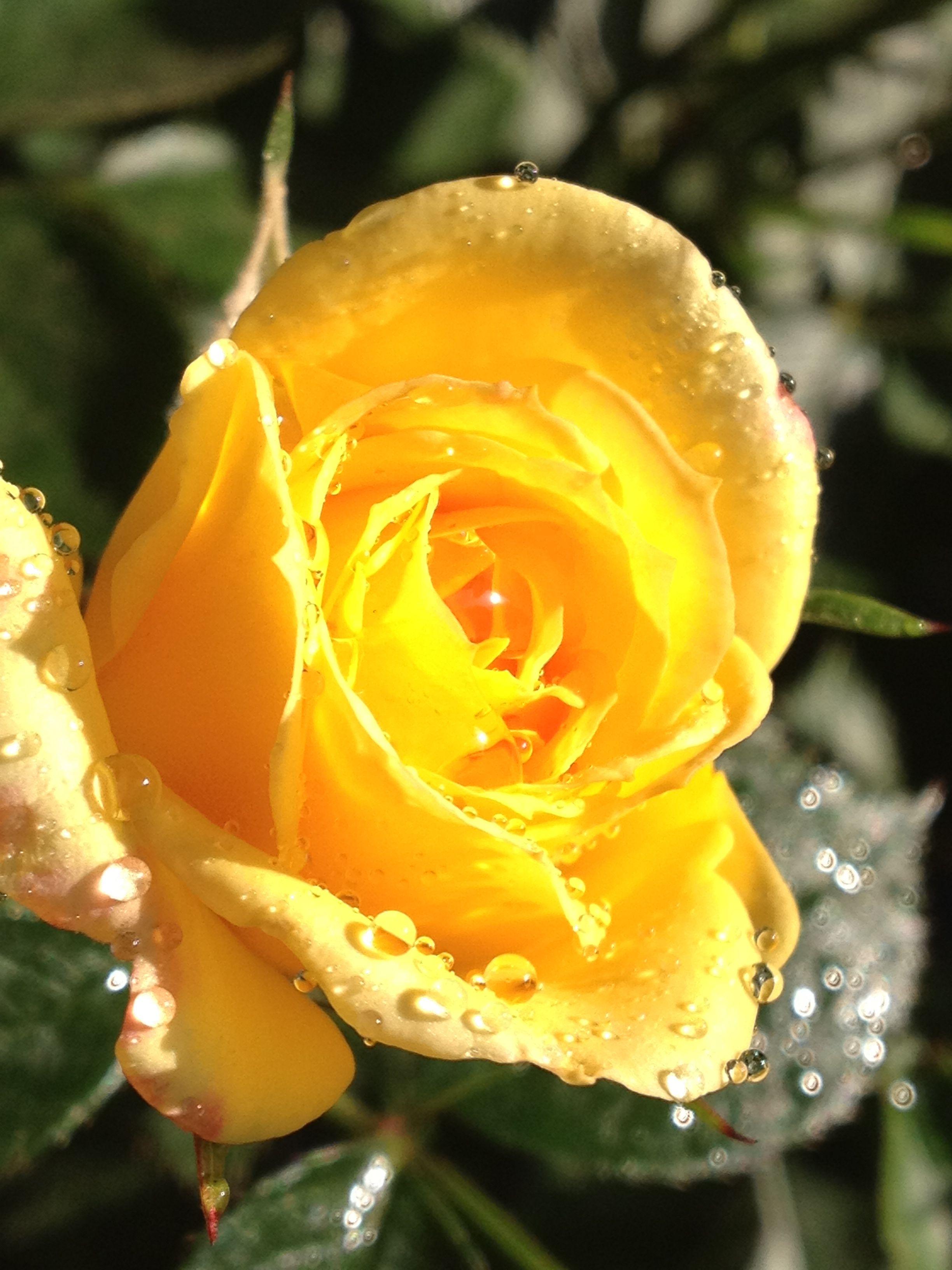 Good Morning Sunshine. | Roses from the yard. | Pinterest
