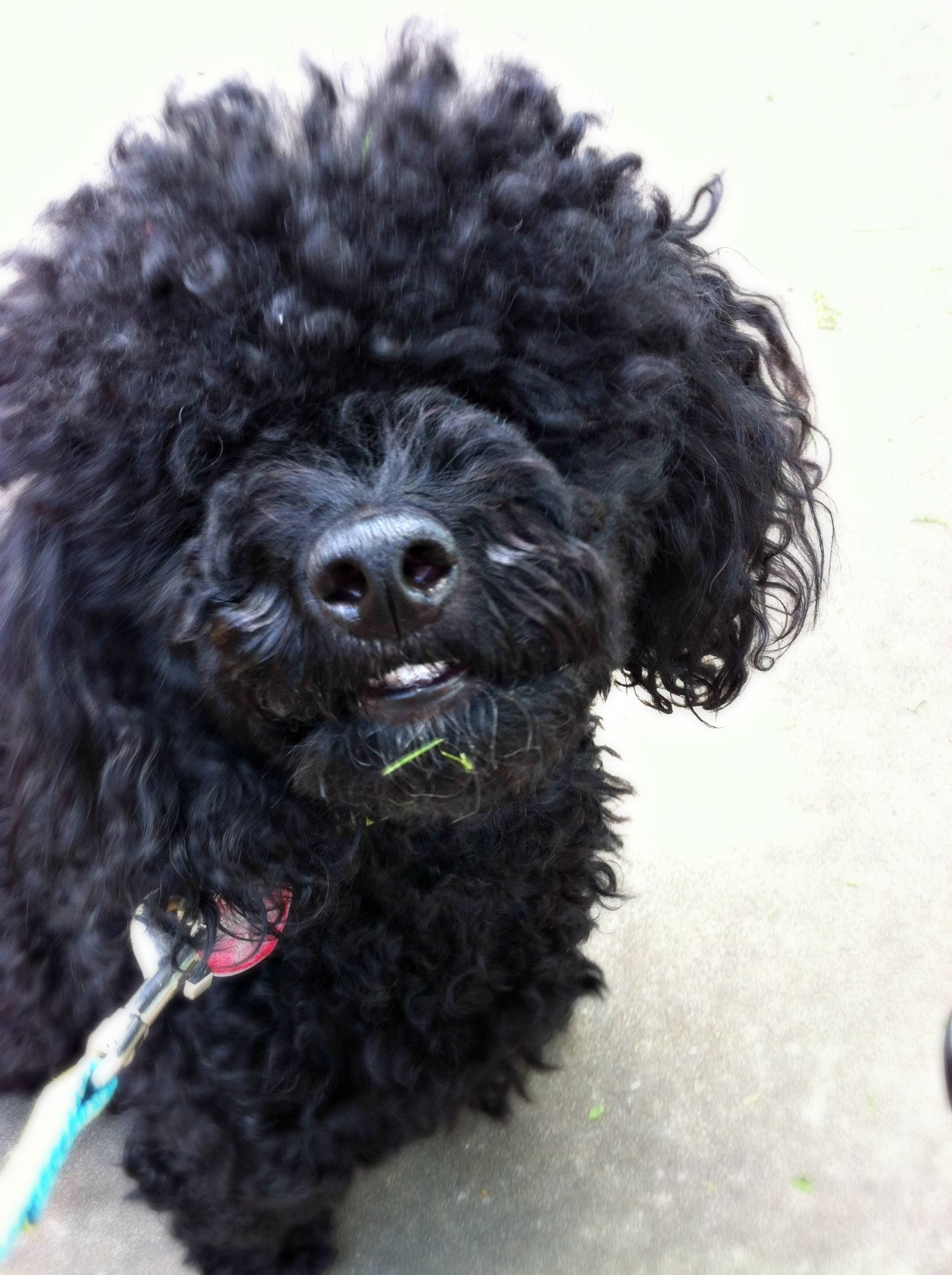 Toy poodle - somebody needs a haircut!!! | Poodle L