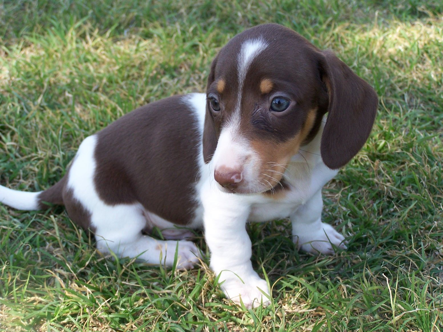 "My Mini Dachshund Piebald, ""Enoch"" 