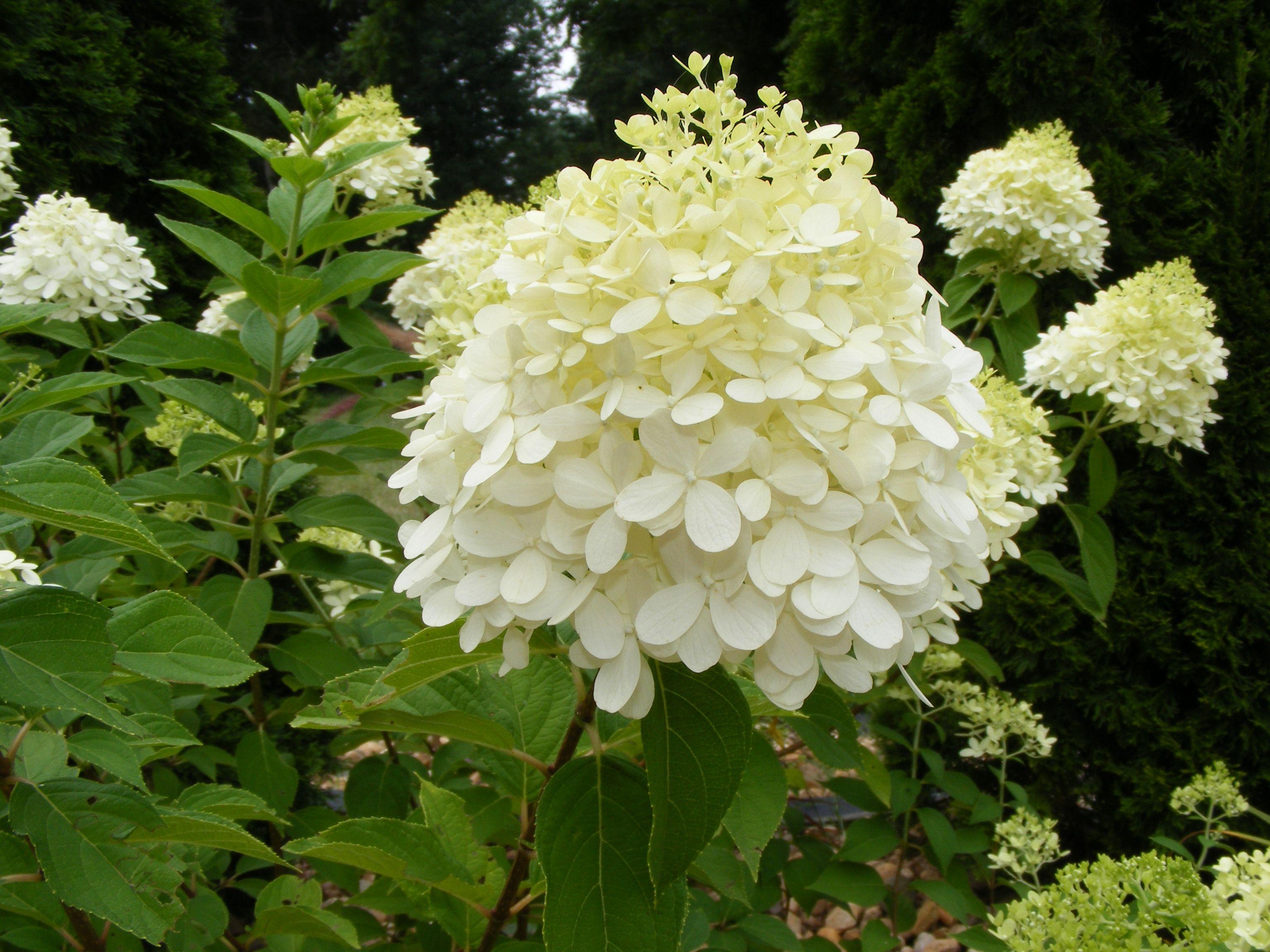 Limelight hydrangea gardening pinterest for Limelight hydrangea