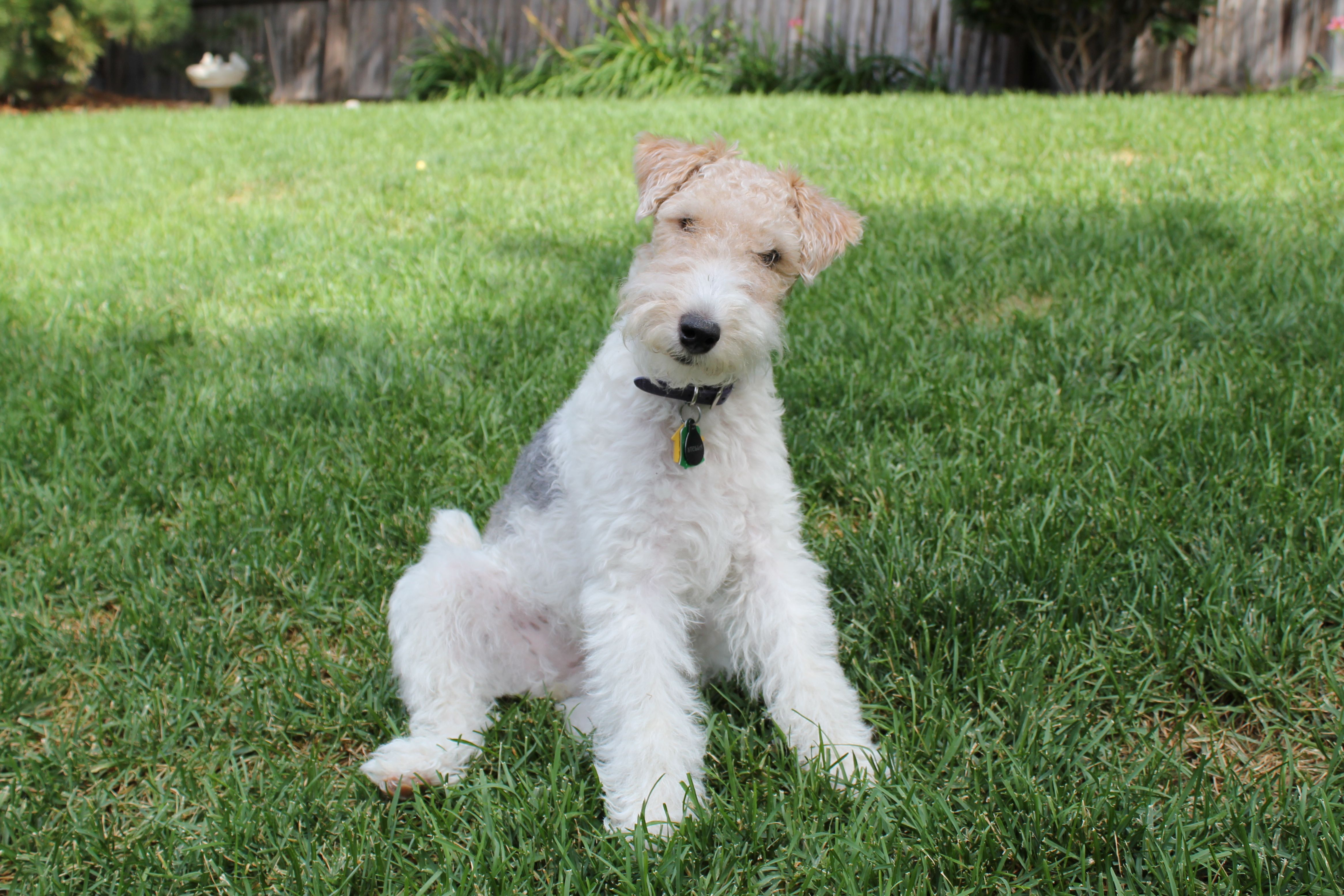 Wire Haired Terrier : Dog breeds breed descriptions information and pictures