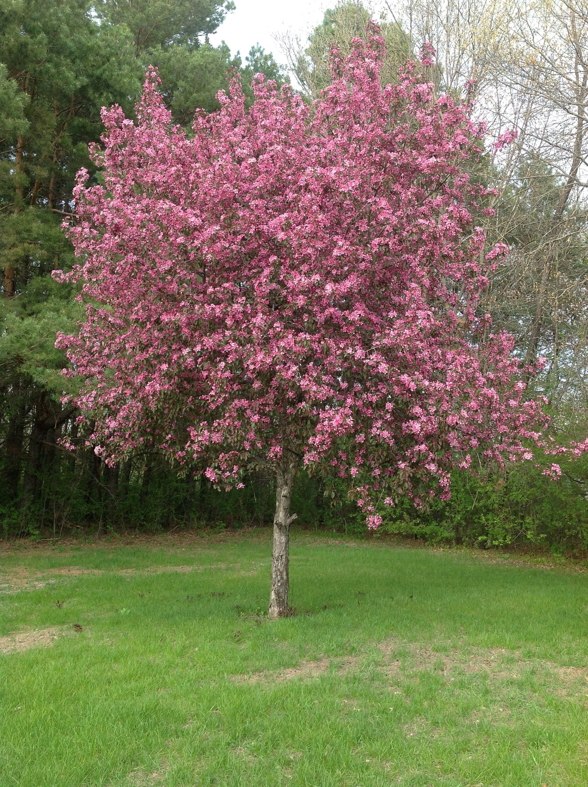 flowering crab tree Duchess C T