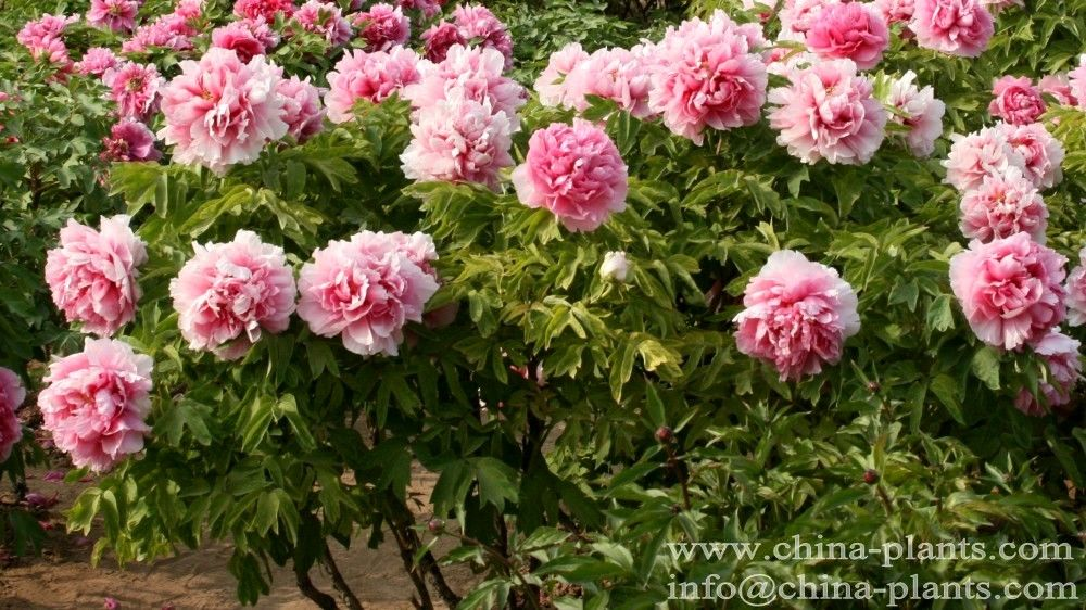 pin by diana deng on the chinese tree peonies pinterest