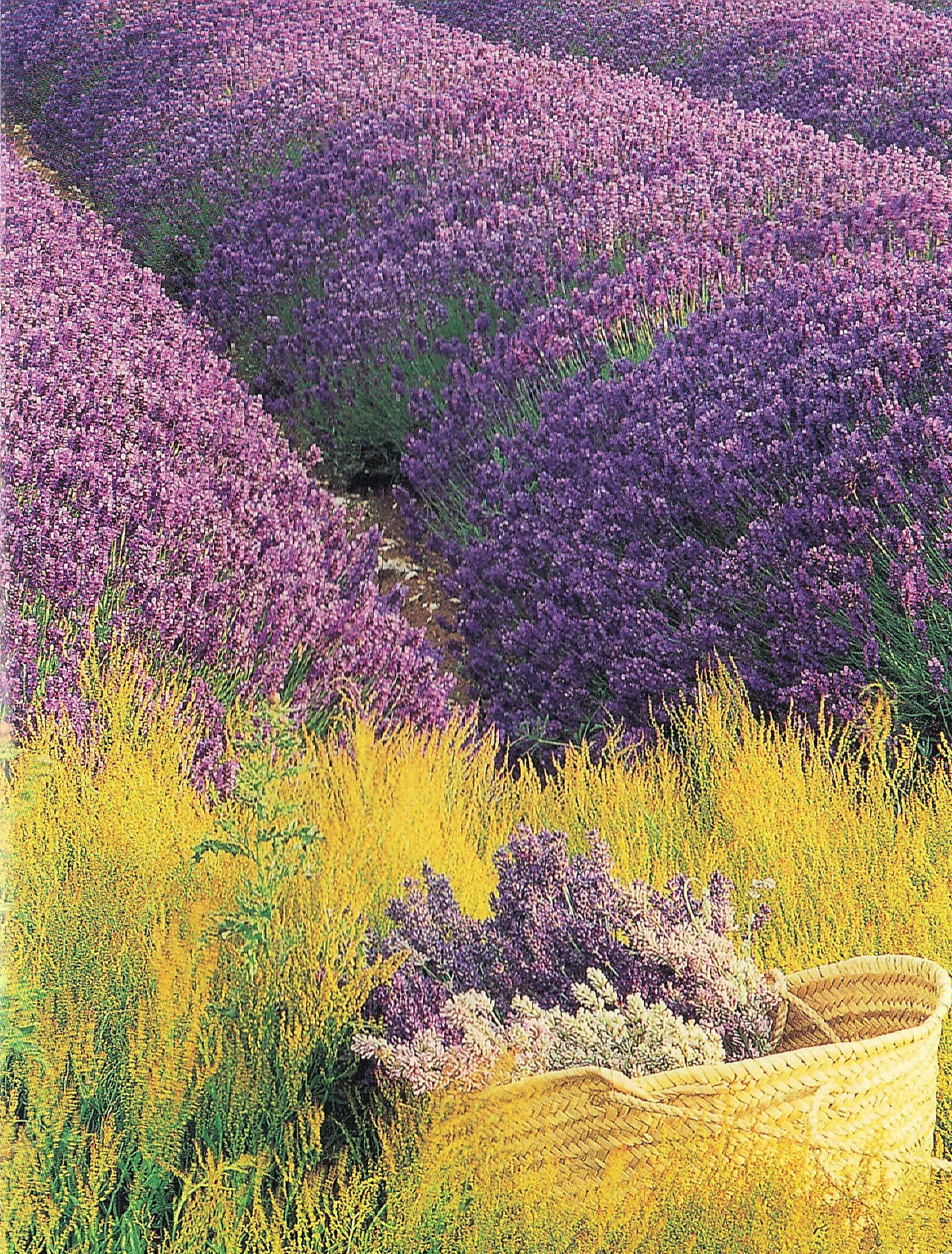 Lavender Fields | Lavanda | Pinterest