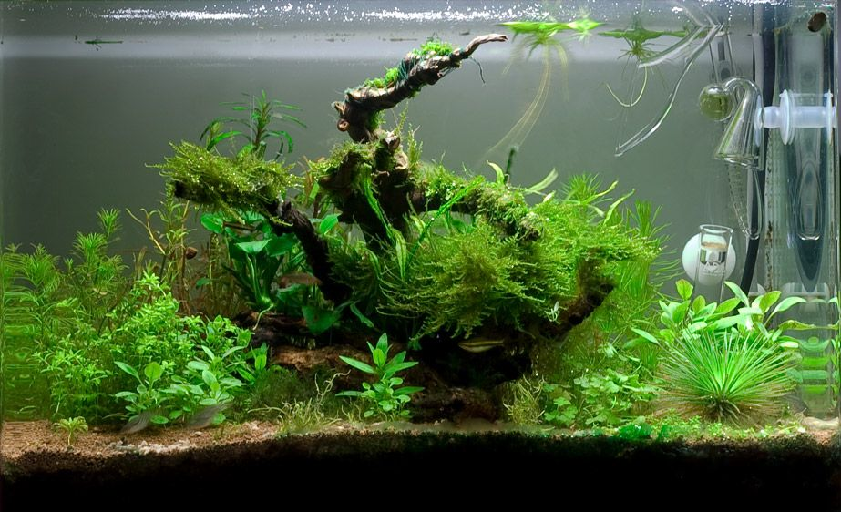 10 Gallon Aquascape Pheesh Pinterest