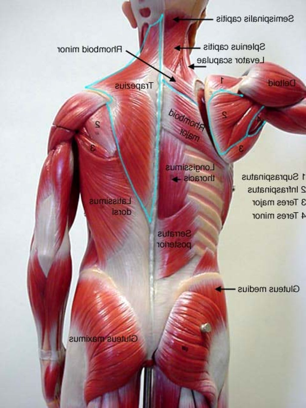 Low back muscles anatomy