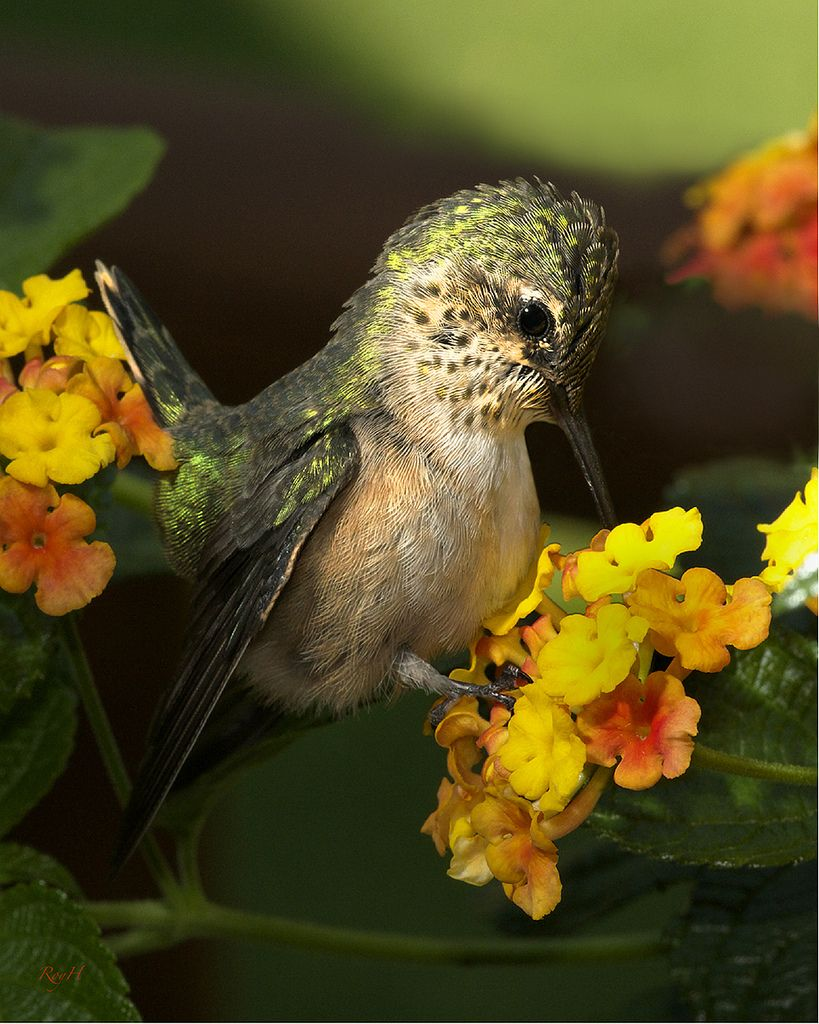 Baby Hummingbird by Roy Hancliff | Things for My Wall ...