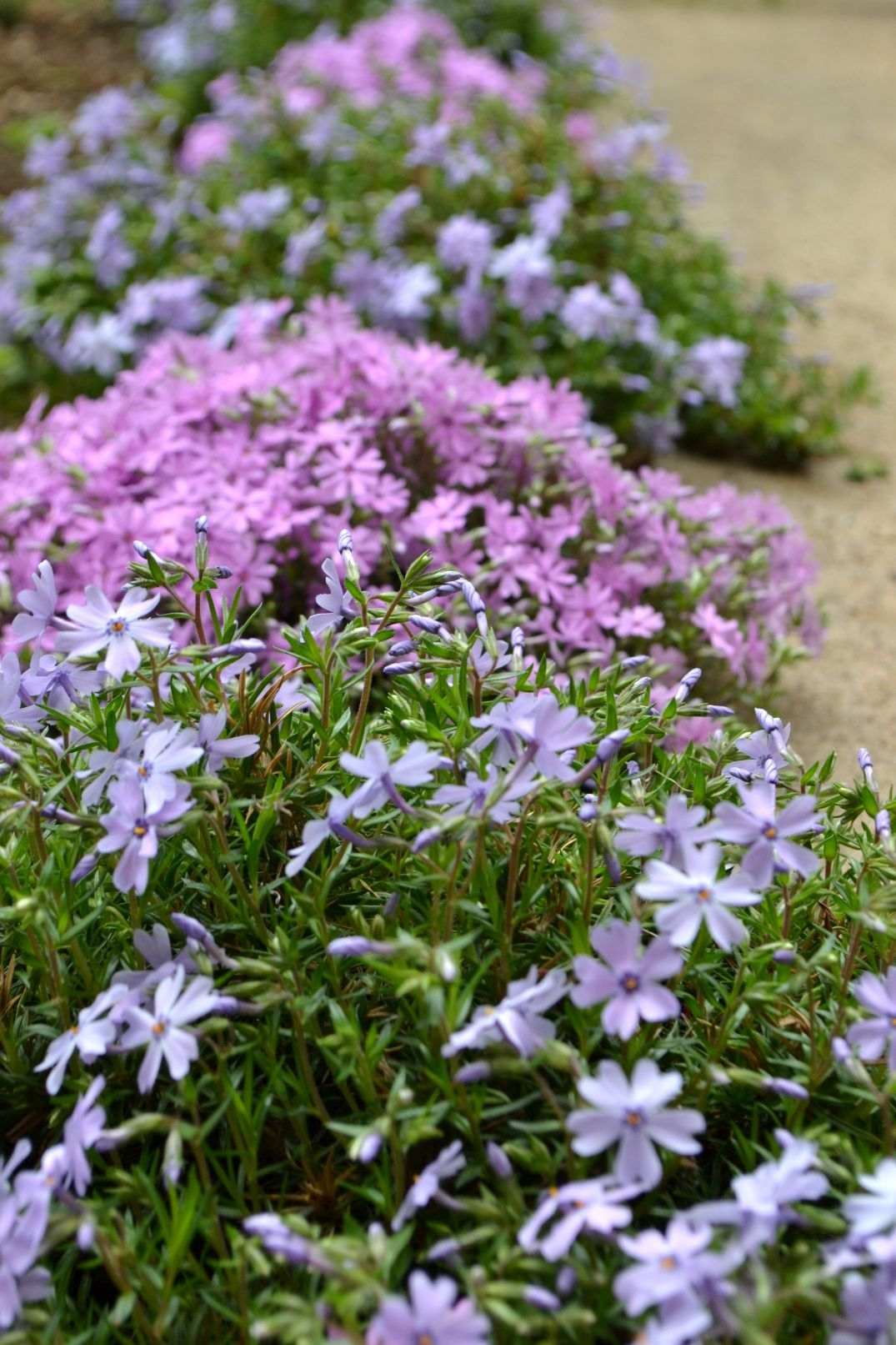 creeping phlox gardens and nature pinterest