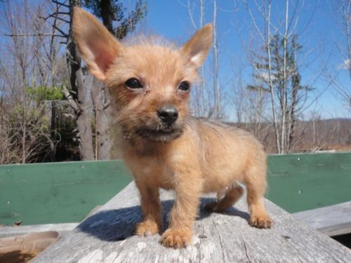 Freeadspets Com  Dogs Breed Yorkshire Terrier Chihuahua