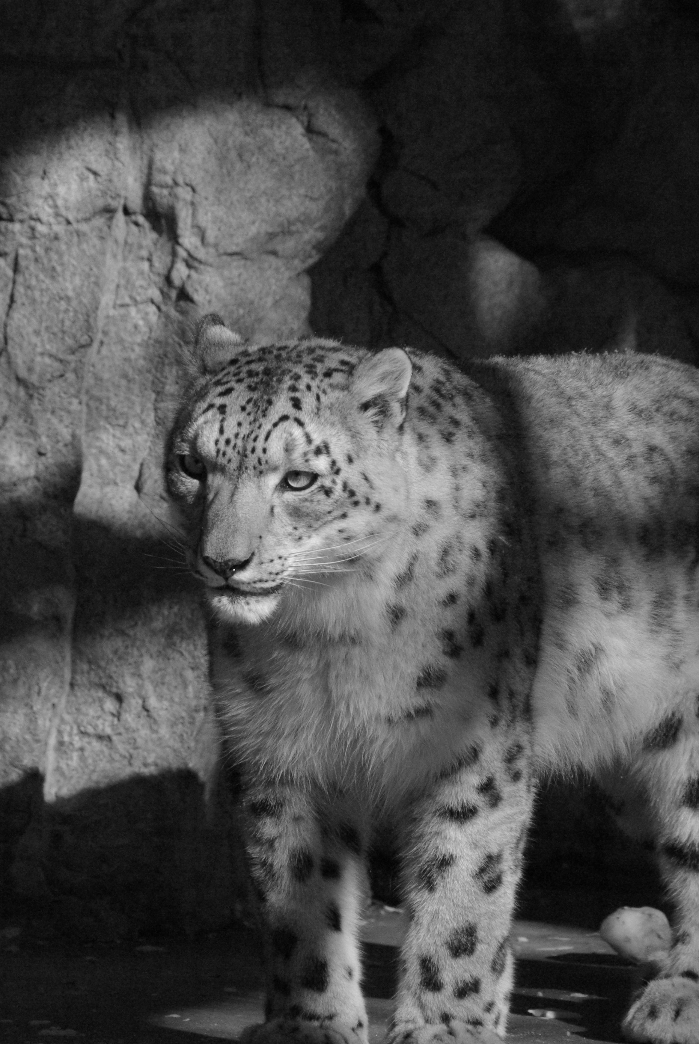 Anthro snow leopard male - photo#13