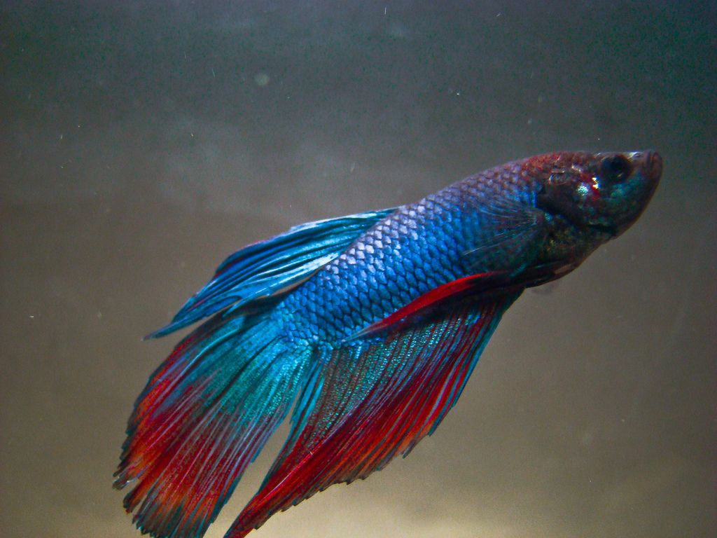 Red and Blue Male Betta Fish | Betta Fish | Pinterest