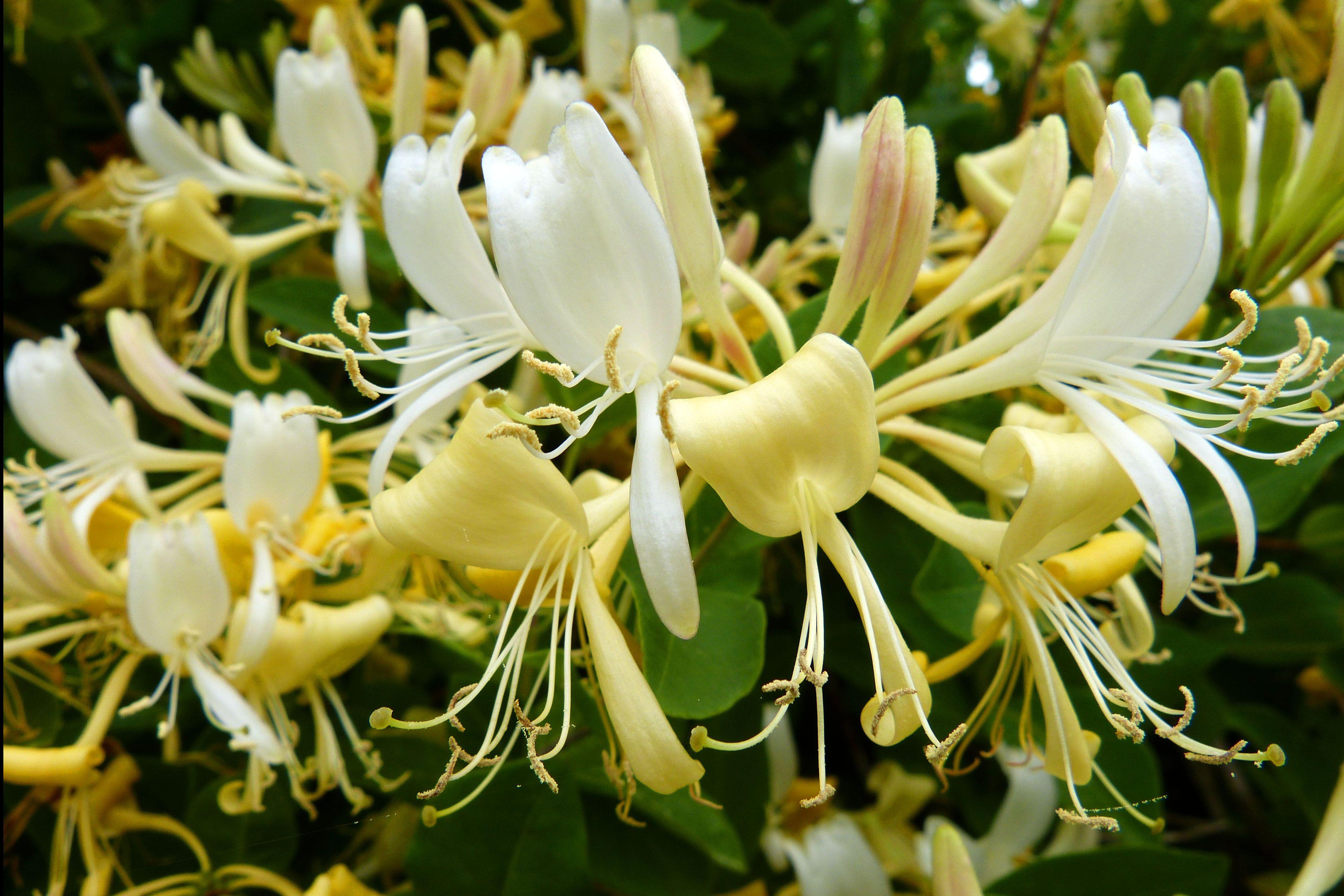 honeysuckle | flowers | Pinterest