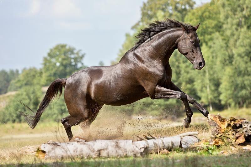 black horsesBlack Horse Jumping