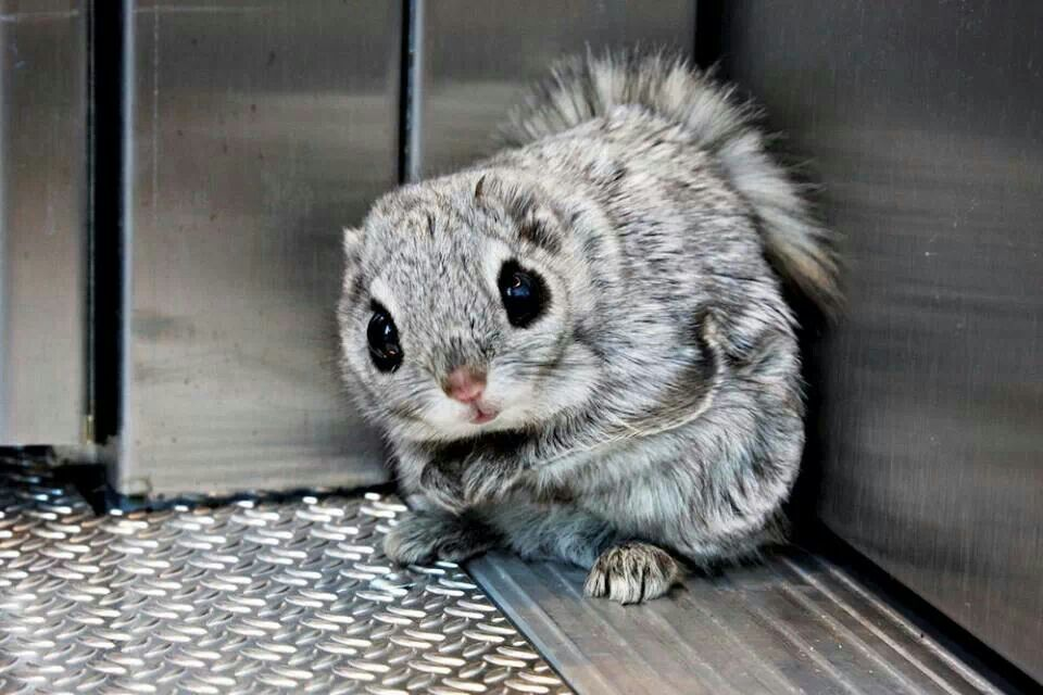 Cute flying squirrels - photo#13